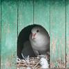 Close-up of pigeon in a pigeon coop, Positano, Amalfi Coast, Salerno, Campania, Italy