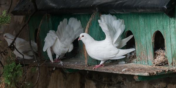 Pigeons in birdhouse, Positano, Amalfi Coast, Salerno, Campania, Italy