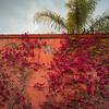 Ivy growing on wall, San Miguel de Allende, Guanajuato, Mexico