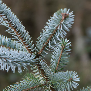 Close-up of a evergreen tree branch, Deception Pass State Park, Oak Harbor, Washington State, USA