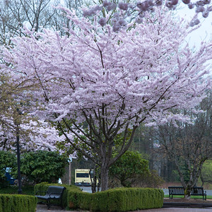 Tree in Blossom at Northwest Railway Museum, Snoqualmie, Washington State, USA