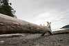 Log on beach in Deception Pass State Park, Oak Harbor, Washington State, USA