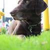 Chocolate Labrador Stock Photos / Images