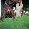 Chocolate Labrador Stock Photos / Images