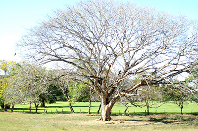 arbol guanacaste1 a