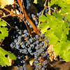 Grapes, Obrien Vineyard, Napa CA