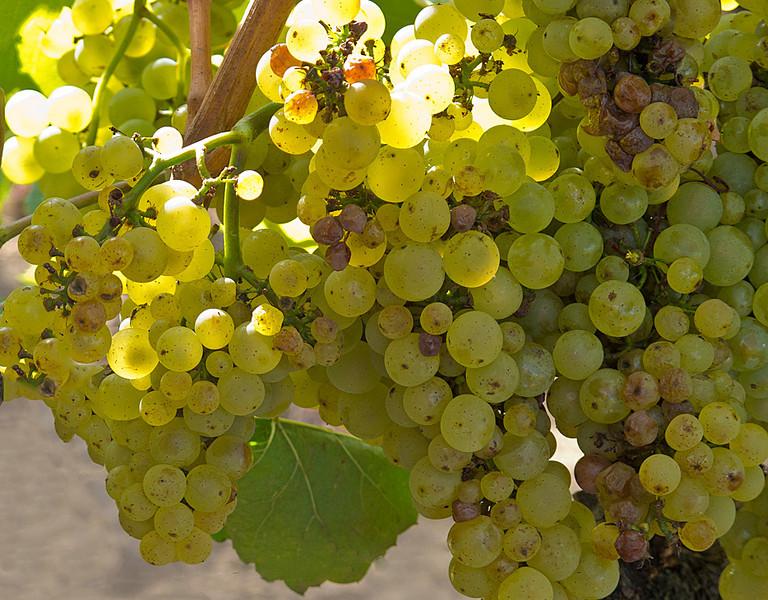Grapes, Obrien Vineyard, Napa, CA