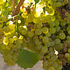 Grapes, Obrien Vineyard, Napa, CA