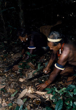 Kayapo men collecting the Brazalian nuts which is used to make medicinal oil. Kayapo, Brazilian Amazon.