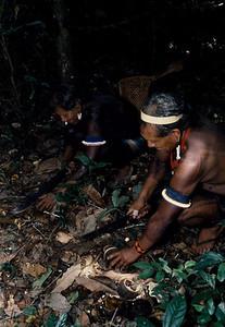 Kayapo men collecting the Brazalian nuts which is used to make medicinal oil. Kayapo, Brazilian Amazon.