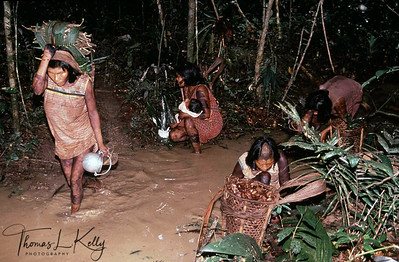 Kayapo women collecting the Brazalian nuts which is used to make medicinal oil. Kayapo, Brazilian Amazon.