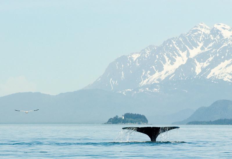 Humpbacked Whale breaching in Alaskan scenery