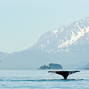 Humpbacked Whale breaching in Alaskan scenery