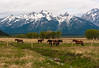 Horses with Teton Range in background