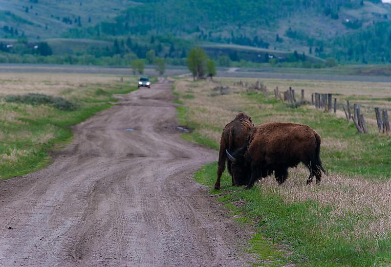Bison, Grand Teton NP