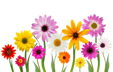 Group of colorful summer daisies on stems isolated on white