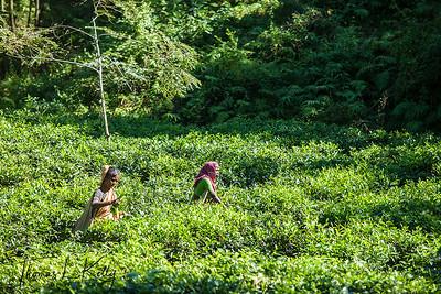 Tea State in Malinchora Village. Bangladesh.