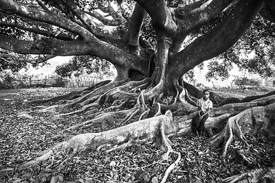 Ficus religiosaas Tree. Myanmar.