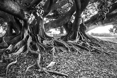 Sprawling Ficus religiosa roots, in Phutown. Myanmar.