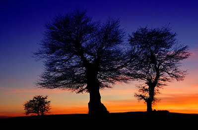 bare beech trees at sunset