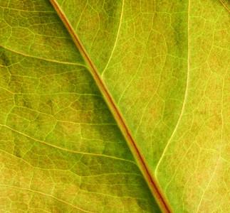 backlit leaf, great for backgrounds