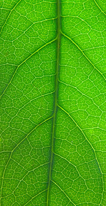 Green leaf texture - macro detail with structure