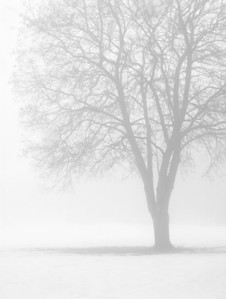 single bare tree in winter fog