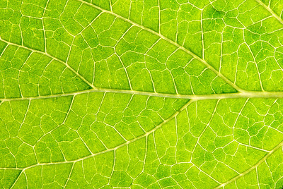 The underside of a leaf up close reveals the patterns of the veins that make it up.