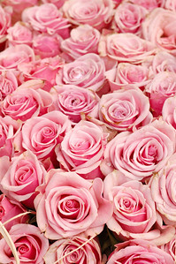 Background of beautiful pink roses