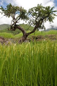 Chorten seen through bonsai-type tree. On the way to Khamsum Yuelley Namgyel chorten.