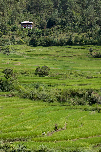 Rice field on the way to Khamsum Yuelley Namgyel chorten.