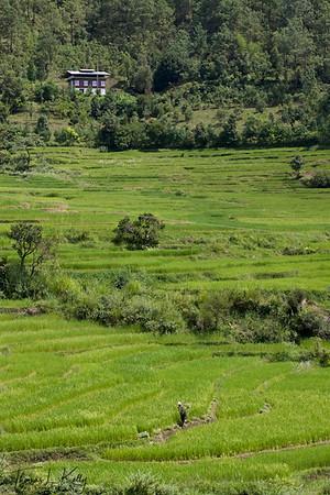 Rice field on the way to Khamsum Yuelley Namgyel chorten.