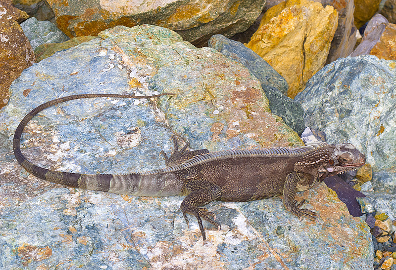 Lizard, St. Thomas