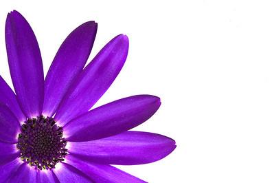 'Senetti Deep Blue' flower isolated on white and framed in the left corner.