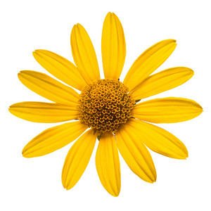 Close-up view of yellow daisy on white
