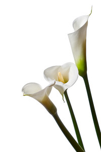 three calla lilies close-up, isolated on white background