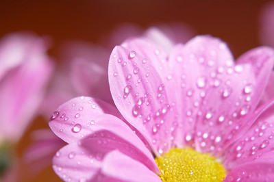 water droplets on the flower petals (macro)
