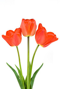 Three red tulips isolated on the white background