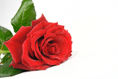 Close-up of an open red rose on white background