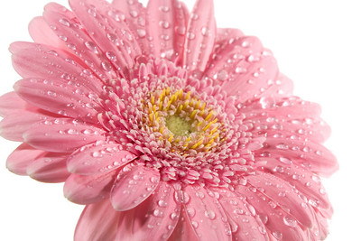 Pink daisy with water droplets isolated on the white background