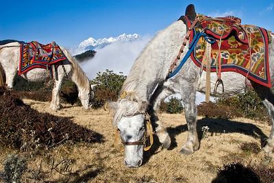 Horses graze at Ratna Giri, Solu, Nepal.
