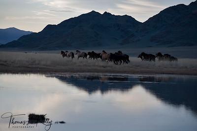Horses in Altai. Mongolia.