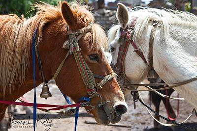 Mustangi horses. Jomsom, Mustang, Nepal.
