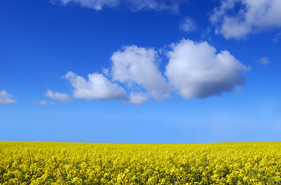 A yellow rape field with blue sky and white puffy clouds.