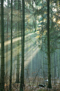 Light entering foggy forest at early winter sunset