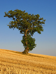 solitary oak tree in a field