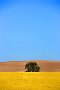 Beautiful idyllic landscape. Village in Slovakia. Canola fields and a lonely tree.