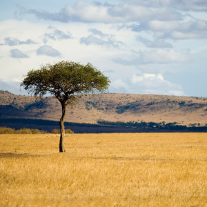 view of a tree in the middle of a plain in the natural reserve of masai mara.