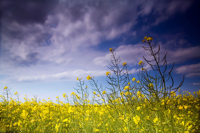 rape field with blue sky and dark clouds