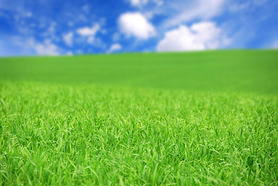 Agricultural landscape - green field of young grain grass with bright blue sky